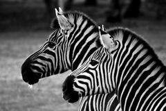 Two Zebra, black and white. Profile view of the heads of two zebra stock image