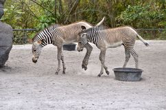 Two Zebra Colts Royalty Free Stock Image