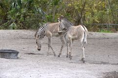 Two Zebra Colts Royalty Free Stock Photography