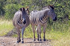 Two Zebra on Dirt Road in Natural Bushland Landscape stock photos