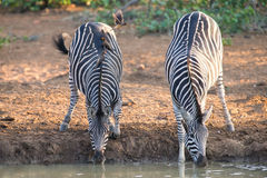 Two zebra down on their knees drinking water at sunset in a with Stock Photo