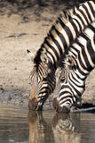 Two Zebra drinking at waterhole Stock Images