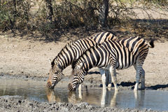 Two Zebra drinking at waterhole Royalty Free Stock Photos