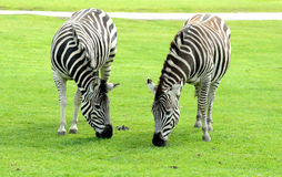 Two Zebra eating Stock Photos