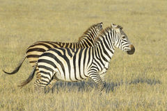 Two Zebra (Equus quagga) running on savanna Royalty Free Stock Photo