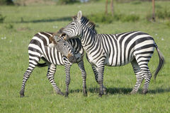 Two Zebra (Equus quagga) stallions fighting Stock Photography