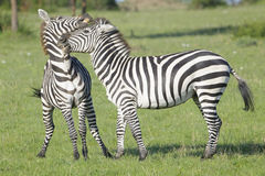 Two Zebra (Equus quagga) stallions fighting Royalty Free Stock Photo