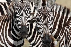 Two zebra faces staring at you. Black and white stripes everywhere stock photo