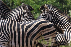 Two Zebra. Facing each other in the Kruger Park - South Africa Stock Images