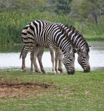 Two zebra feeding in green grass field Stock Images