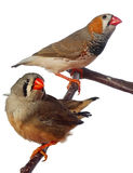 Two zebra finch birds on a branch Stock Image