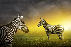 Two zebra on the grassland Stock Images