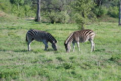 Two Zebra grazing Stock Image