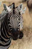 Two zebra heads Royalty Free Stock Photos