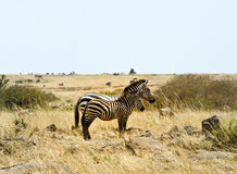 Two zebra  in  Kenya Stock Photo