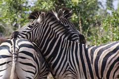 Two Zebra. In the Kruger Park - South Africa Royalty Free Stock Photography
