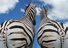 Two zebra in love. Two zebras standig together looking in the sky Stock Photos