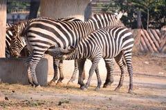 Two zebra Royalty Free Stock Image