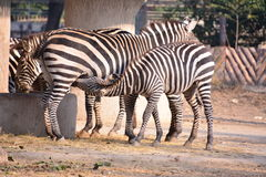Two zebra Royalty Free Stock Image