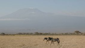 Two zebra and mt kilimanjaro at amboseli in kenya. Two zebra walking across the savanna with mt kilimanjaro in the distance at amboseli national park in kenya royalty free stock image