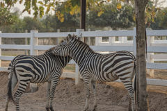Two zebra Stock Image