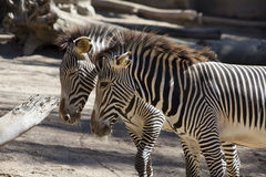 Two zebra's Stock Photos