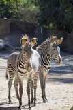 Two zebra's Royalty Free Stock Image