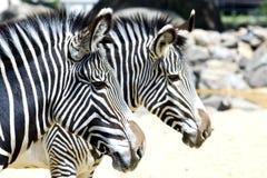 Two zebra's Stock Image