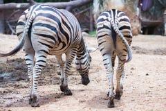 Two zebra`s Royalty Free Stock Photo