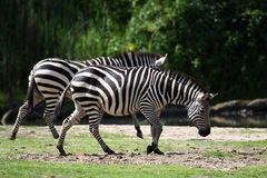 Two zebra's (Equus burchellii) Stock Photography