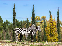 Two zebra in safary park of Sigean Stock Photos