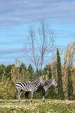 Two zebra in safary park of Sigean Stock Image