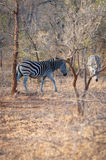 Two Zebra is seen among trees at the Kruger National Park Royalty Free Stock Photos