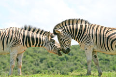 Two Zebra Sparring Stock Photography