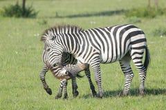 Two Zebra stallions fighting. Two Zebra (Equus quagga) stallions fighting on savanna, Serengeti National Park, Tanzania royalty free stock photo
