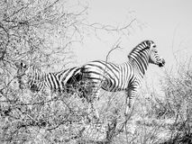 Two zebra standing back to back in sparce African bush their str Stock Photos