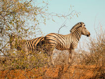 Two zebra standing back to back in sparce African bush Stock Images