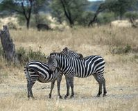 Two zebra standing in dried grass Stock Photos
