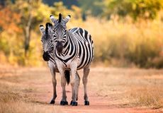 Pair of staring Zebra on a woodland path woodland. Swaziland Stock Photography