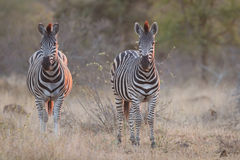 Two zebra standing in grass at sunset with sinlight from the sid Stock Image