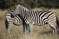 Two Zebra. Standing side by side in the Kruger Park - South Africa Stock Photo