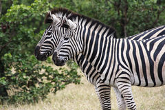 Two Zebra. Standing side by side in the Kruger Park - South Africa Royalty Free Stock Photo