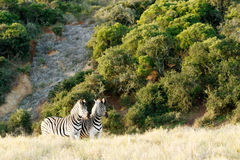 Two Zebra standing in a similar position Stock Photos