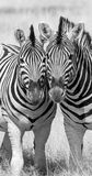 Two zebra standing together Royalty Free Stock Images