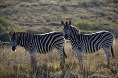 Two zebra on a South African plain stock image