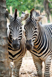 Two zebra starring at the camera. In a zoo Royalty Free Stock Image
