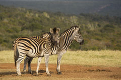 Two zebra in the sunshine Royalty Free Stock Image
