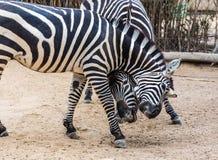 Two zebra Stock Photography