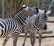 Two zebra Stock Photos