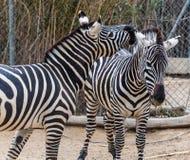 Two zebra Stock Photos